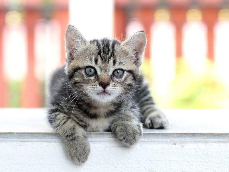 Niedlich: Junge Tigerkatze beim Sonnen auf der Terrasse — Bild: Shutterstock / taro911 Photographer