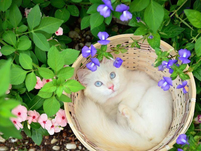 Stammbaumsuche // Schüler-Mentoren Suche Katze-weiss-Koerbchen-Blaue-Augen