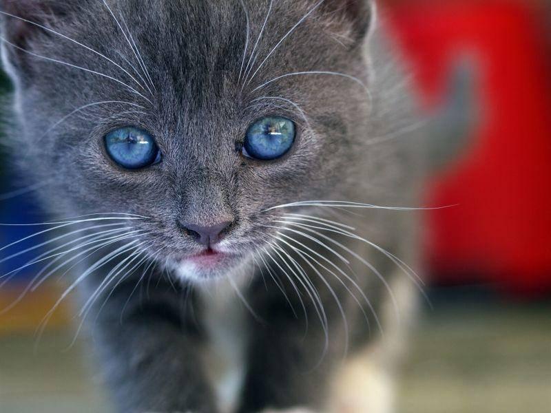 """""""Huch, ist das etwa eine Kamera?"""" Graues Katzenbaby mit blauen Augen — Bild: Shutterstock / Pefkos"""