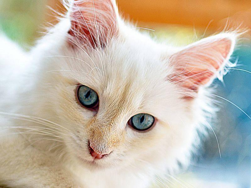 Edle, besondere Katze: Neva Masquarade mit blauen Augen — Bild: Shutterstock / butterflydream