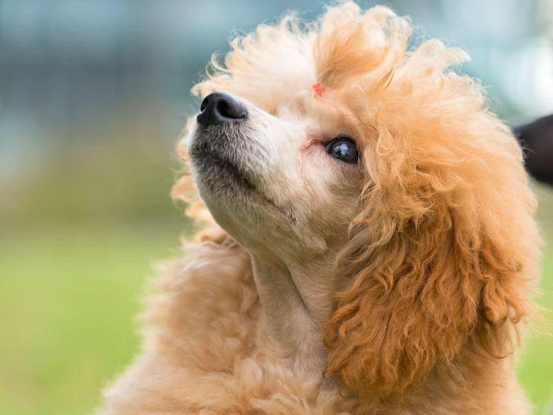 Aufmerksam und gelehrig: Pudel beim Hundespaziergang — Bild: Shutterstock / tsik