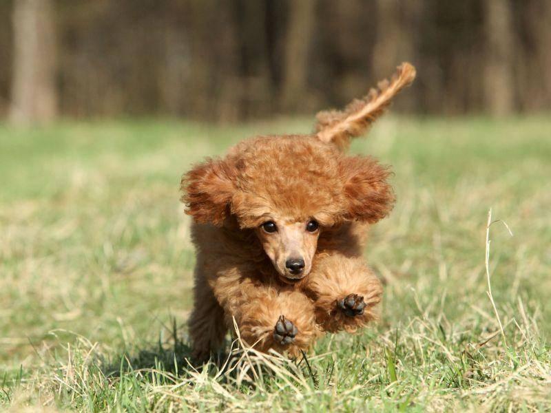 Aber auch kleine Pudel können rennen wie die Großen! — Bild: Shutterstock / Jagodka
