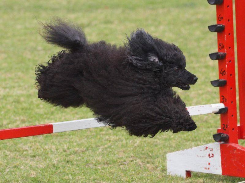 Der kluge Pudel ist ein begnadeter Agility-Sportler — Bild: Shutterstock / Mackland