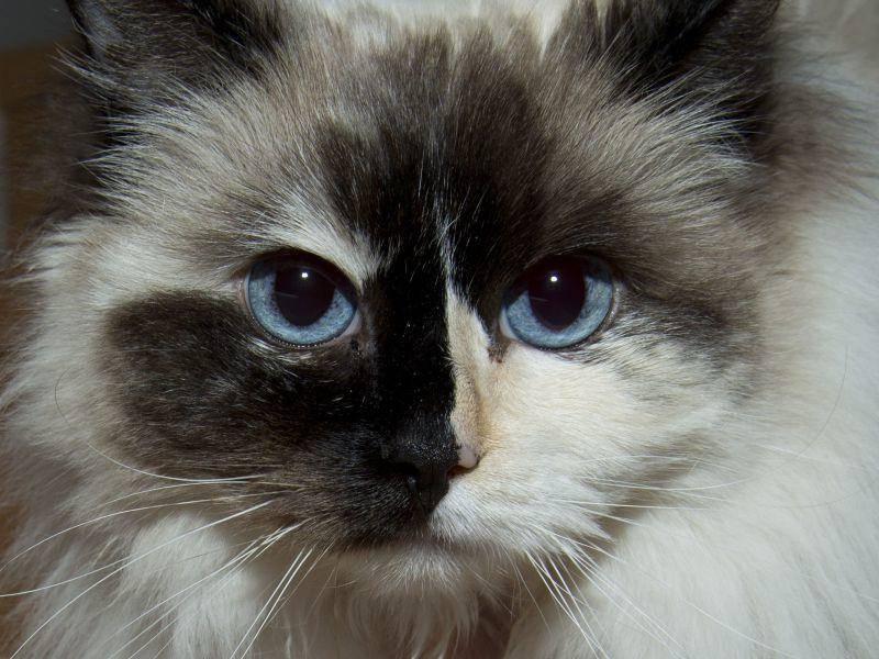 Einfach schön: Ragdoll Katze mit blauen Augen und tollem Muster — Bild: Shutterstock / Andrea Izzotti