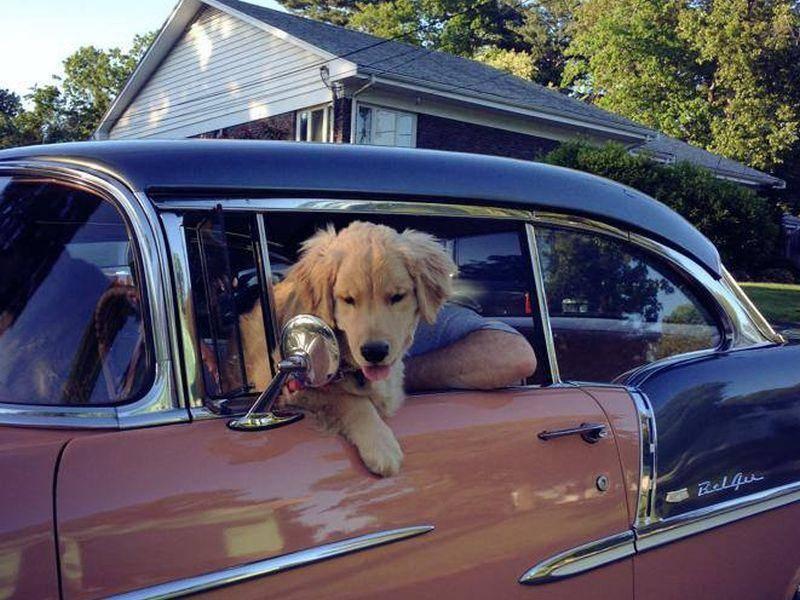Autofahren? Kein Problem für einen mutigen Hund wie Ray Charles — Bild: 2013 Facebook / Ray Charles The Golden Retriever