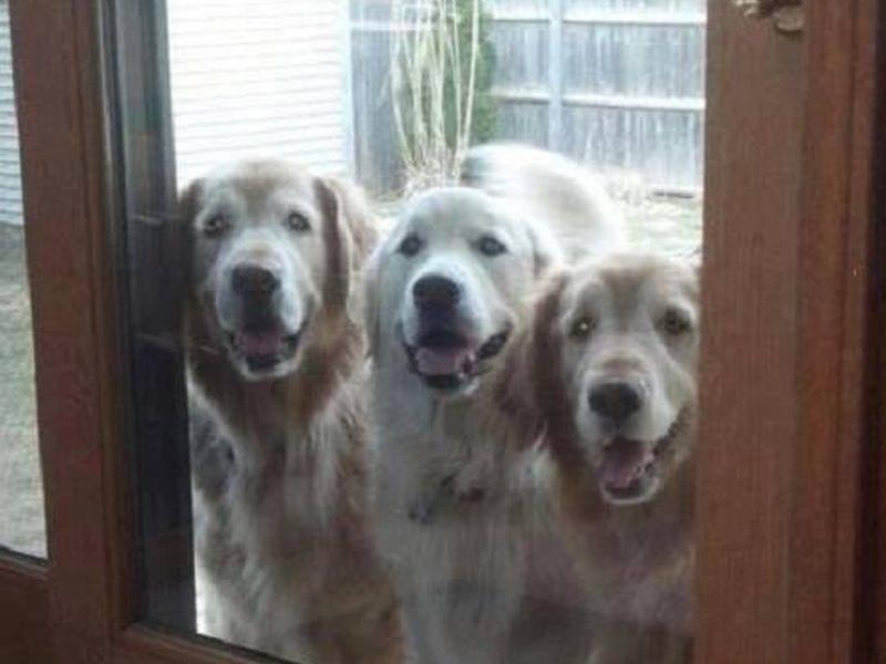Begrüßungskomitee: Ray Charles neuen Geschwister warten schon auf ihn — Bild: 2013 Facebook / Ray Charles The Golden Retriever