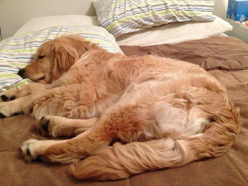 Schon fast erwachsen und müde nach einem anstrengenden Tag: Der blinde Hund Ray Charles — Bild: 2013 Facebook / Ray Charles The Golden Retriever