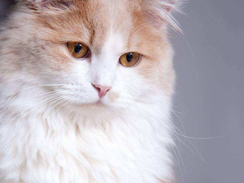 Wunderschön: Ein flauschiger Katzentraum in Rot-Weiß — Bild: Shutterstock / Margarita Borodina