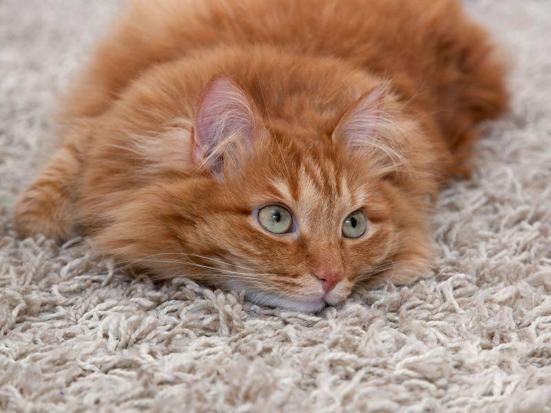 Katze oder Teppich: Was ist flauschiger? — Bild: Shutterstock / Olesya Kuznetsova
