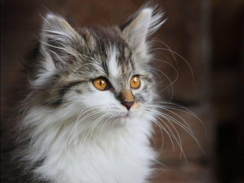 Süße Hauskatze: Flauschig und wunderschön — Bild: Shutterstock / Reinhold Leitner