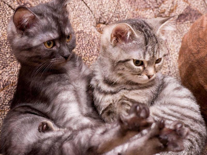 Schottische Faltohrkatzen: Tigerkatzen im Doppelpack — Bild: Shutterstock / Forewer