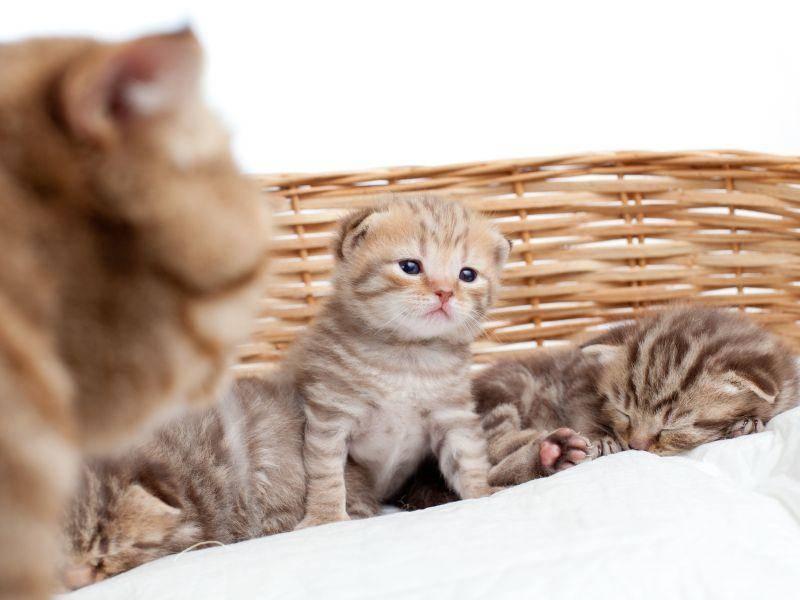 Nur circa 50 Prozent der Schottischen Faltohrkatzen klappen übrigens im Laufe der Zeit die Ohren um — Bild: Shutterstock / Oksana Kuzmina