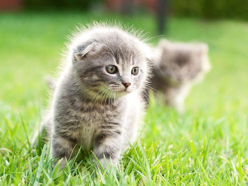 Niedliche Bande: Schottische Faltohrkatzen werden seit den 1960er Jahren gezüchtet — Bild: Shutterstock / Nikita Starichenko