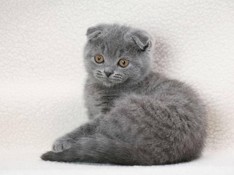 Von den Ohren abgesehen ähneln Schottische Faltohrkatzen den Britischen Kurzhaarkatzen — Bild: Shutterstock / Onishchenko Natalya