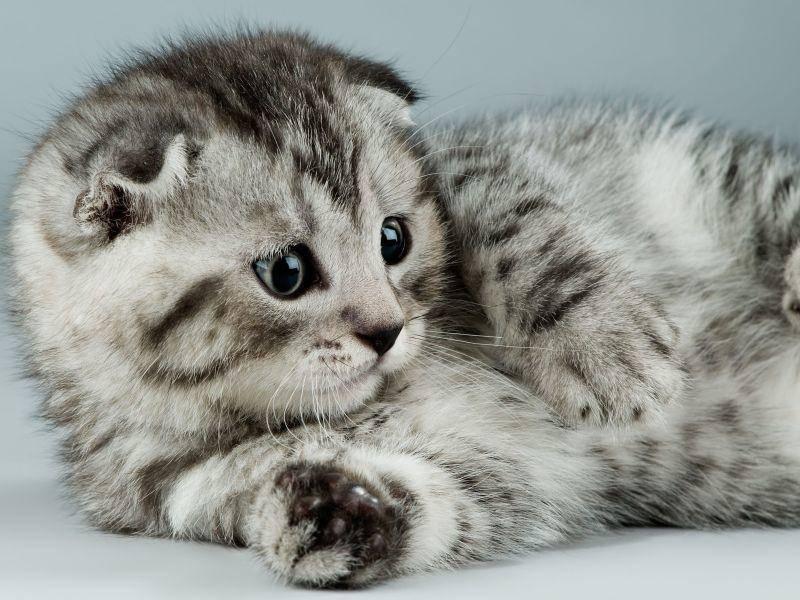 Hübscher Kerl: Schottische Faltohrkatze mit Tabby-Muster — Bild: Shutterstock / tankist276