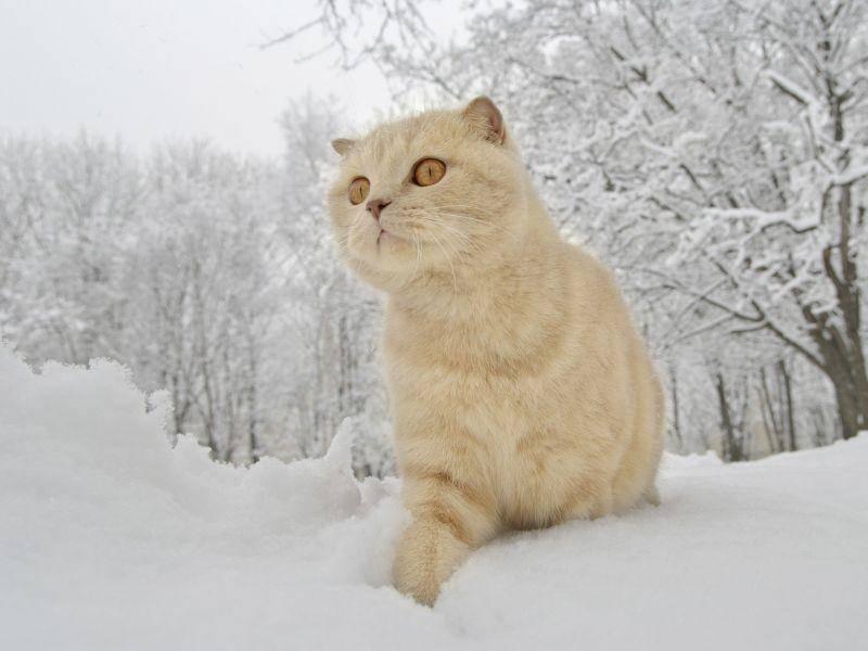 Schottische Faltohrkatze macht einen kleinen Spaziergang durch die Schneelandschaft — Bild: Shutterstock / papa1266