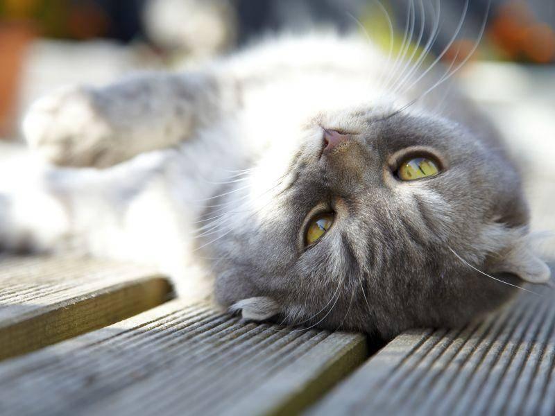 Niedlich: Eine Schottische Faltohrkatze macht es sich auf der Terrasse gemütlich — Bild: Shutterstock / Veronika Trofer