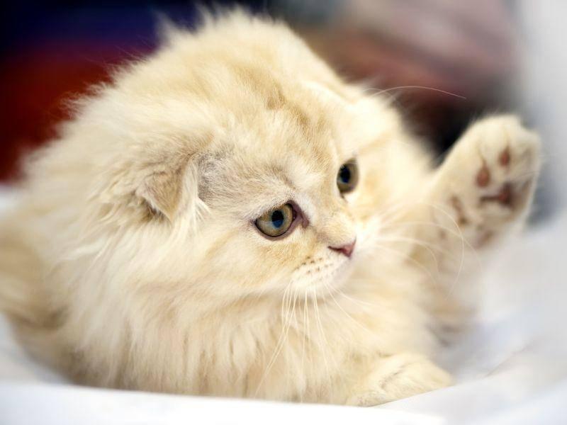 Schottische Faltohrkatzen kommen in vielen verschiedenen Farben vor — Bild: Shutterstock / Nikolai Pozdeev
