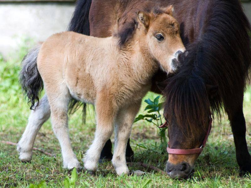 Tierisch süß: Eine kleine Shetlandpony Familie — Bild: Shutterstock / Czintos Odon