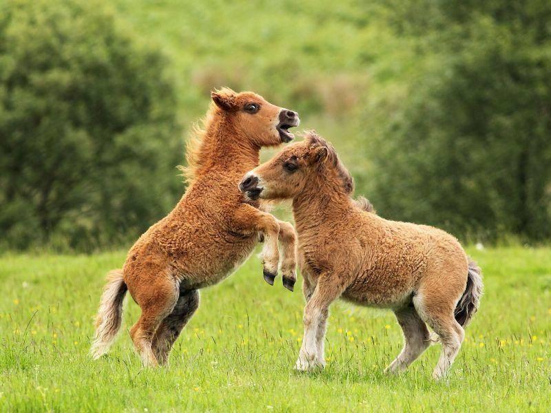 Niedlich: Zwei junge Shetlandponys beim Toben — Bild: Shutterstock / Grant Glendinning