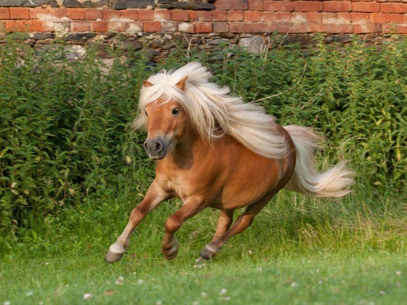 Auch kleine Shetlandponys können ganz schön schnell rennen — Bild: Shutterstock / Vera Zinkova