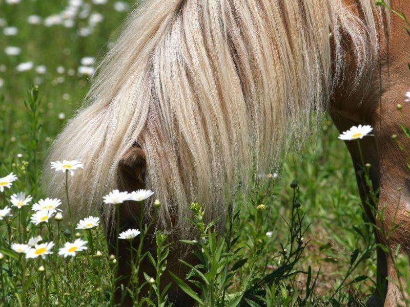 Aber Grasen macht Shetlandponys natürlich genauso viel Spaß — Bild: Shutterstock / Ron Rowan Photography