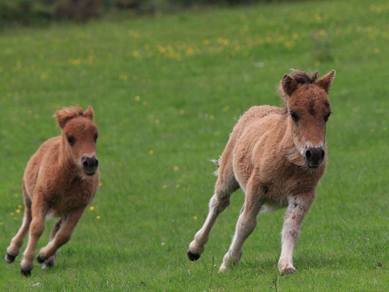 Rennen! Das macht jungen Shetland Ponys Spaß — Bild: Shutterstock / Maria Gaellman