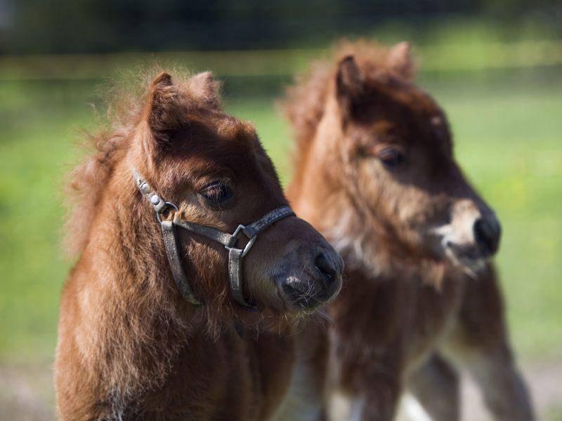 Was da hinten wohl los ist? Neugierige Shetlandponys — Bild: Shutterstock / imantsu