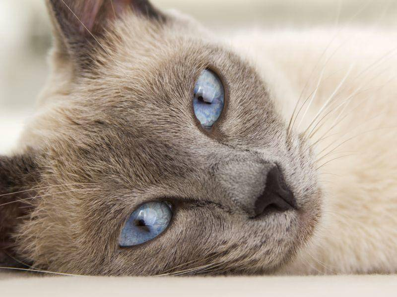 Siamkatze mit blauen Augen: Eine der schönsten Katzen der Welt — Bild: Shutterstock / MAErtek