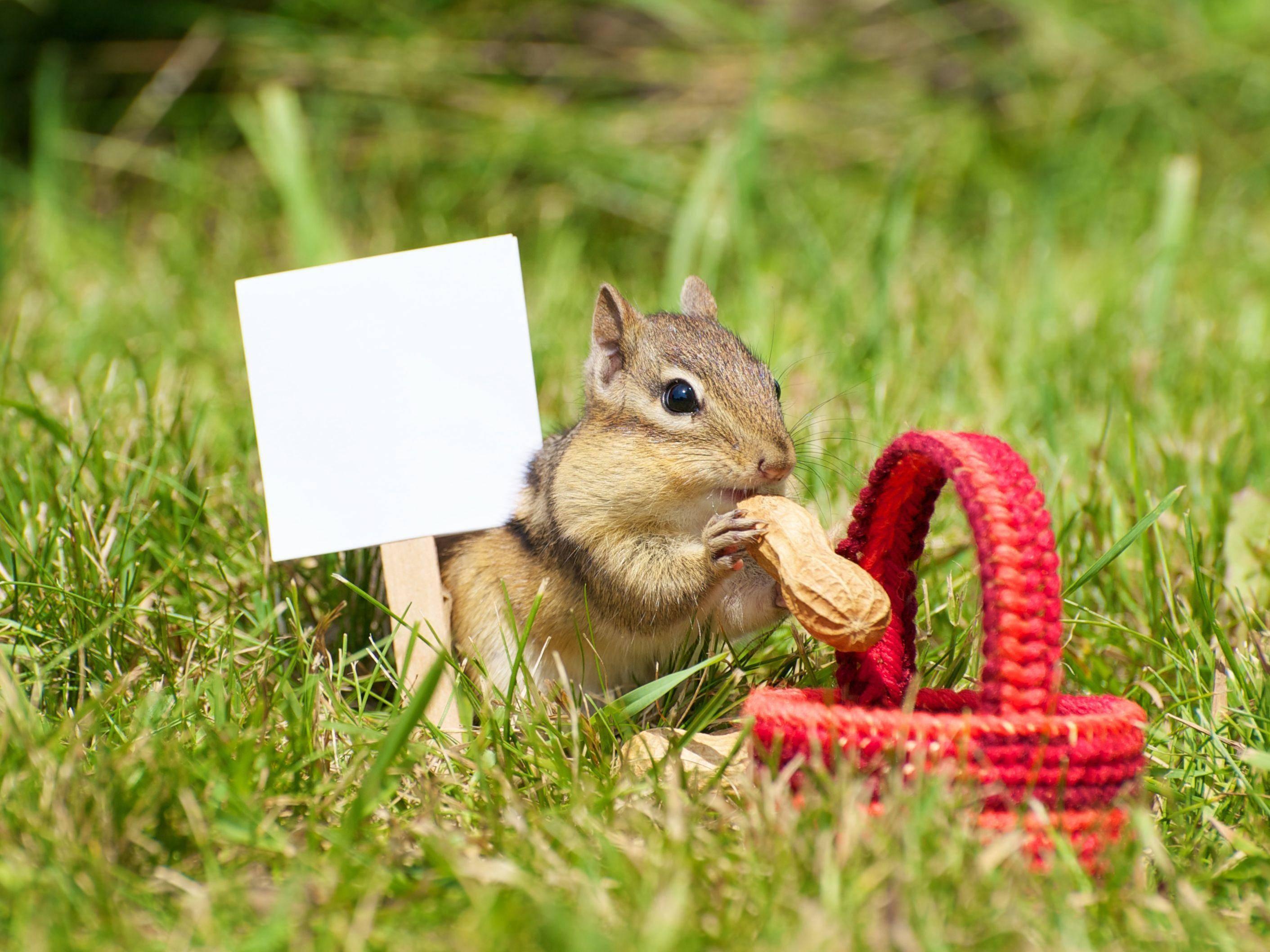 Picknick? Ein süßes Streifenhörnchen ist sich auch für Schnappschüsse nicht zu fein — Bild: Shutterstock / KellyNelson