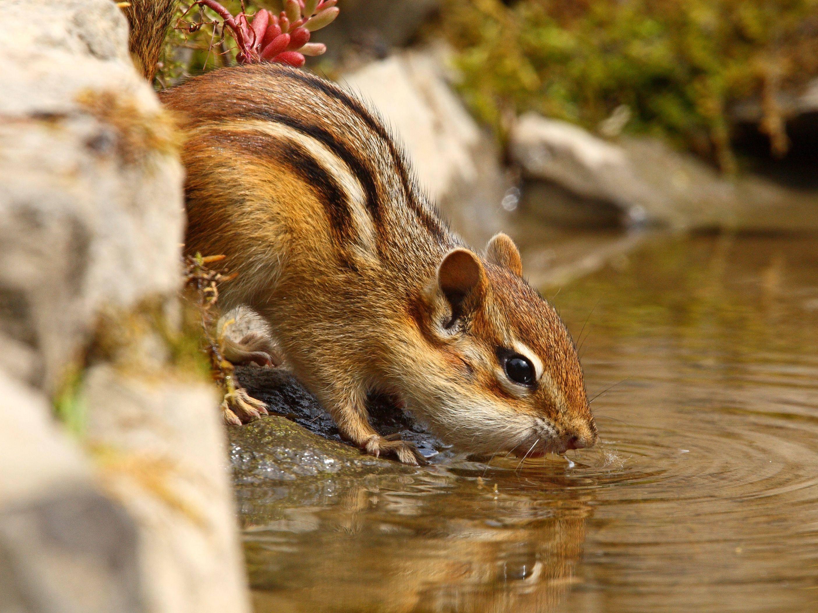 Gar nicht wasserscheu, dieses süße Streifenhörnchen — Bild: Shutterstock / robag
