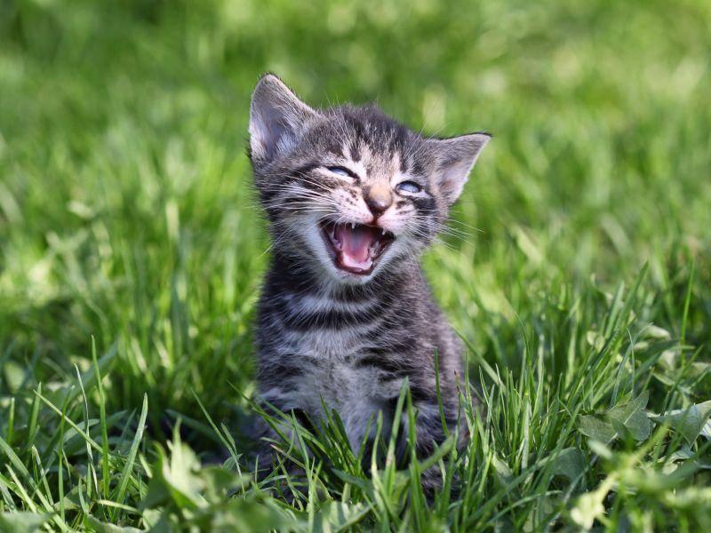 Süßer Fratz auf der Wiese: Tigerkatze im Miniformat — Bild: Shutterstock / Pelevina Ksinia