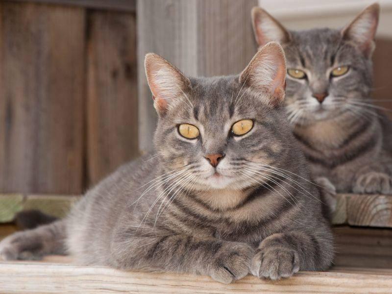 So schön und faszinierend können Tigerkatzen sein — Bild: Shutterstock / Sari ONeal