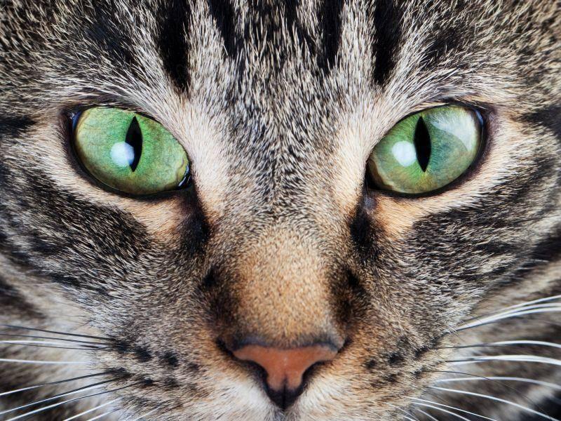 Ganz nah: Tigerkatze mit besonders schönen Augen — Bild: Shutterstock / Brenda Carson