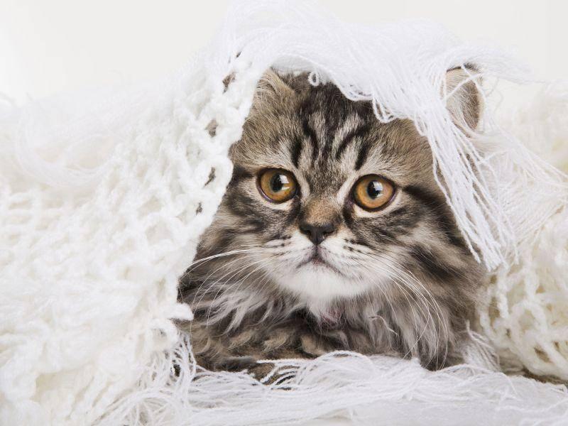 Ein Perser spielt verstecken: Süße Tigerkatze — Bild: Shutterstock / Irina oxilixo Danilova