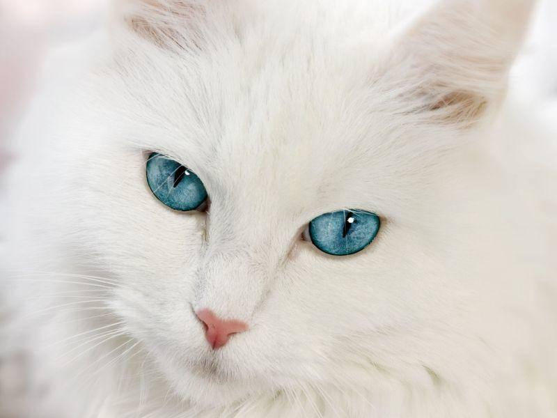 Faszinierende Katze: Neva Masquarade mit leuchtend blauen Augen — Bild: Shutterstock / Talvi