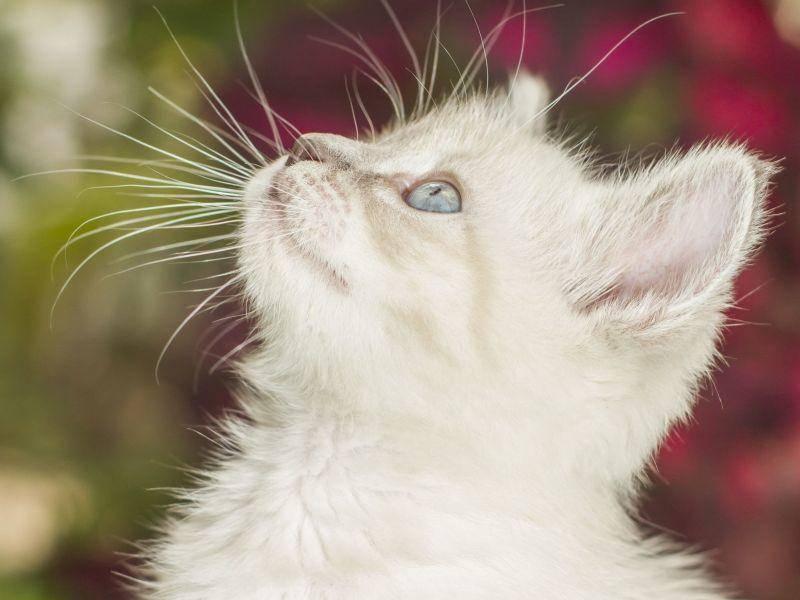 Schmetterlinge beobachten: Junge weiße Katze mit strahlend blauen Augen — Bild: Shutterstock / Nathalie Speliers Ufermann