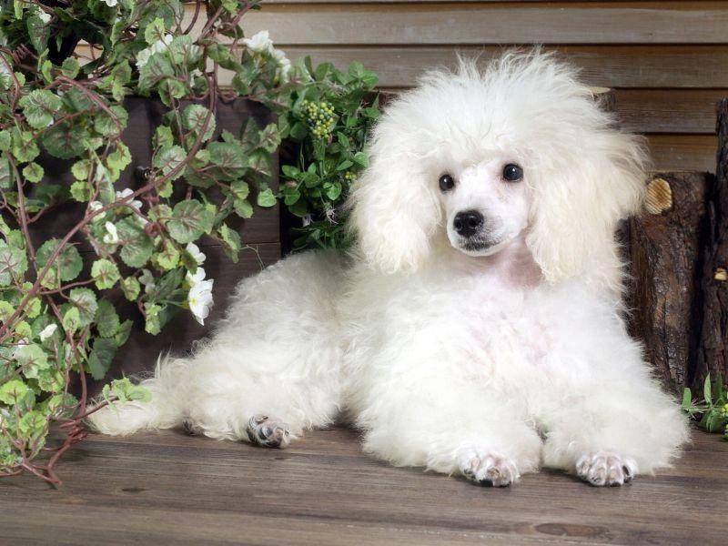 Keine Angst vor dem langen Fell: Pudel gehören zu den Hunden, die nicht haaren — Bild: Shutterstock / wizdata1