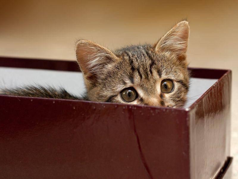 Als Geschenk verpackt? Süße Katze im Karton — Bild: Shutterstock / Pashin Georgiy