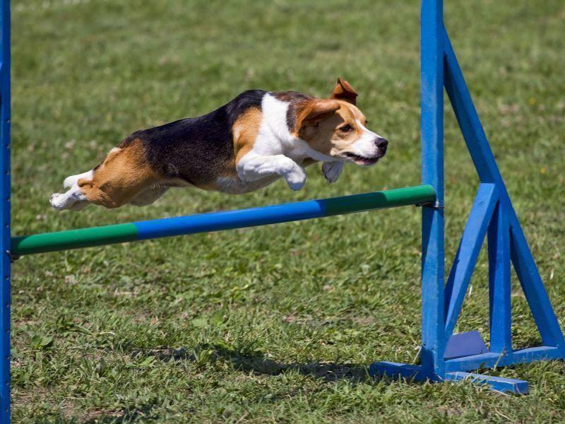 Hundetraining dient nicht nur der Erziehung, sondern auch der Kondition und dem Geschick des Hundes — Bild: Shutterstock / L. Nagy