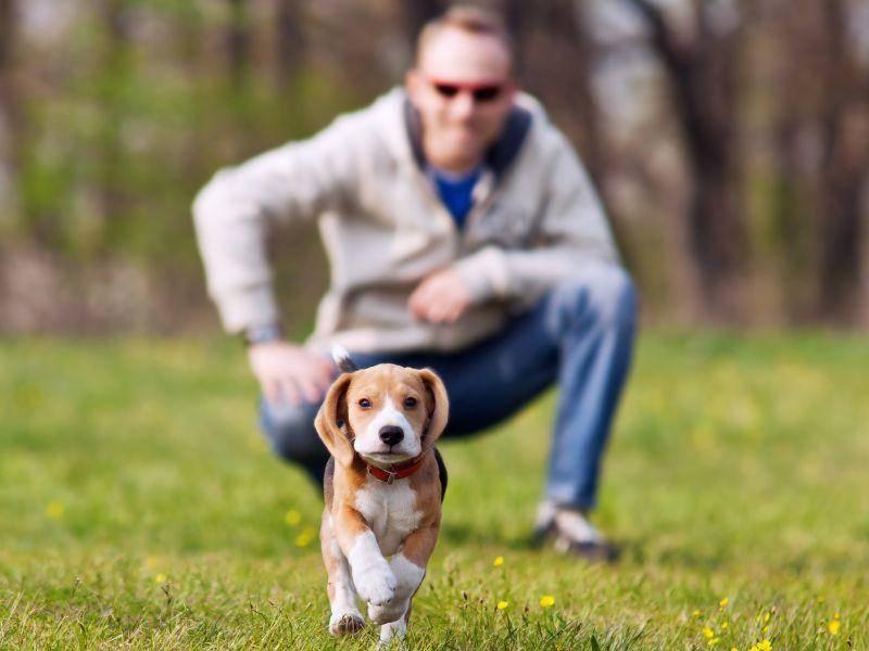 Und lauf, kleiner Beagle! Dieser Welpe macht sich schon ganz gut — Bild: Shutterstock / Solovyova Lyudmyla
