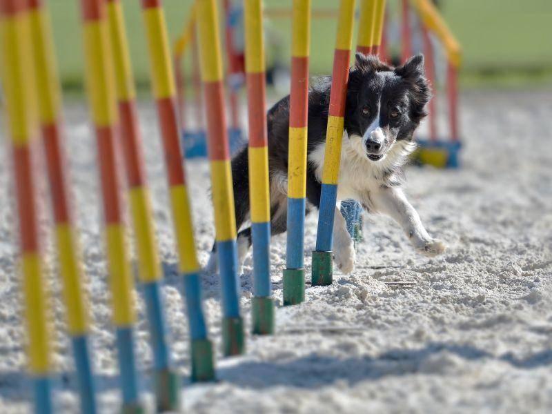 Eine Möglichkeit für Hundetraining: Agility, das fehlerfreie passieren verschiedenster Hindernisse — Bild: Shutterstock / Dziurek
