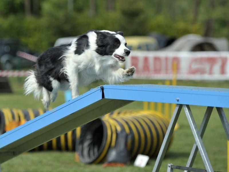 Noch ein Hund beim Agility-Hundetraining: Die Brücke ist eins der wichtigsten Hindernisse — Bild: Shutterstock / s5fotke