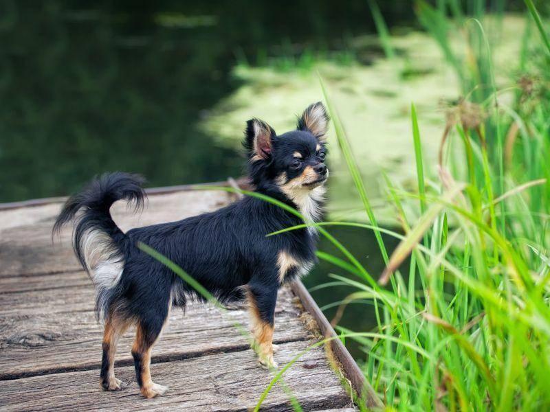 Wo geht's als Nächstes hin? Ein süßer Chihuahua beim Hundeausflug — Bild: Shutterstock / JuliaSha