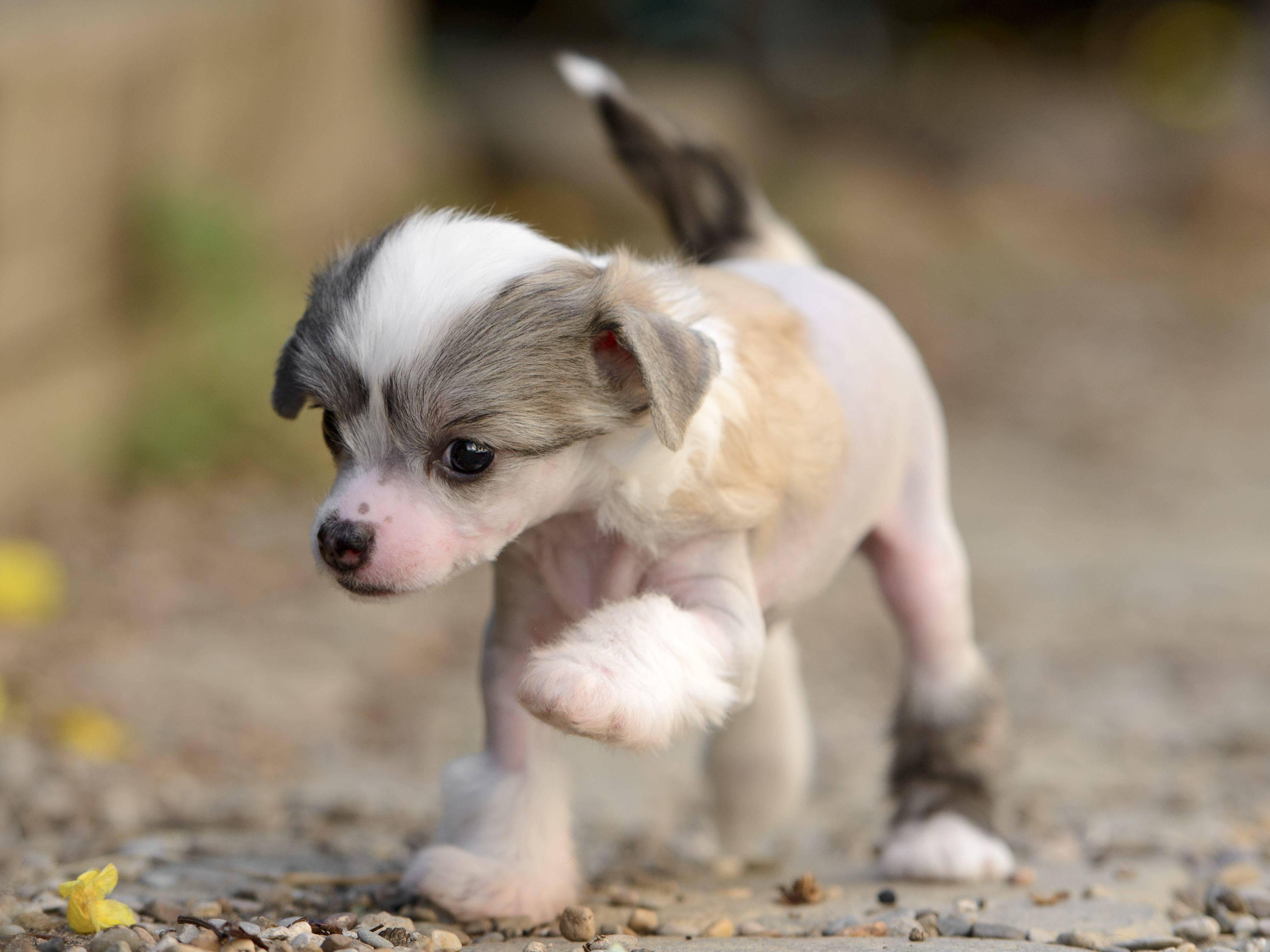 Und ein Bein vor das andere! Dieser junge chinesische Schopfhund übt mit voller Konzentration — Bild: Shutterstock / tsik