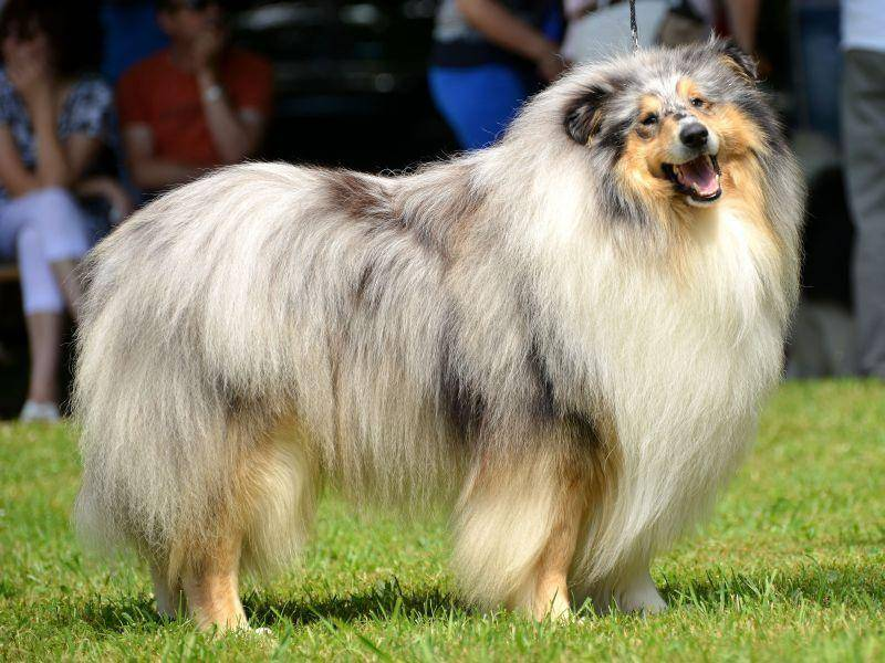 """Langhaarcollies haben mit """"Lassie"""" einen berühmten Vertreter ihrer Art — Bild: Shutterstock / Marcel Jancovic"""