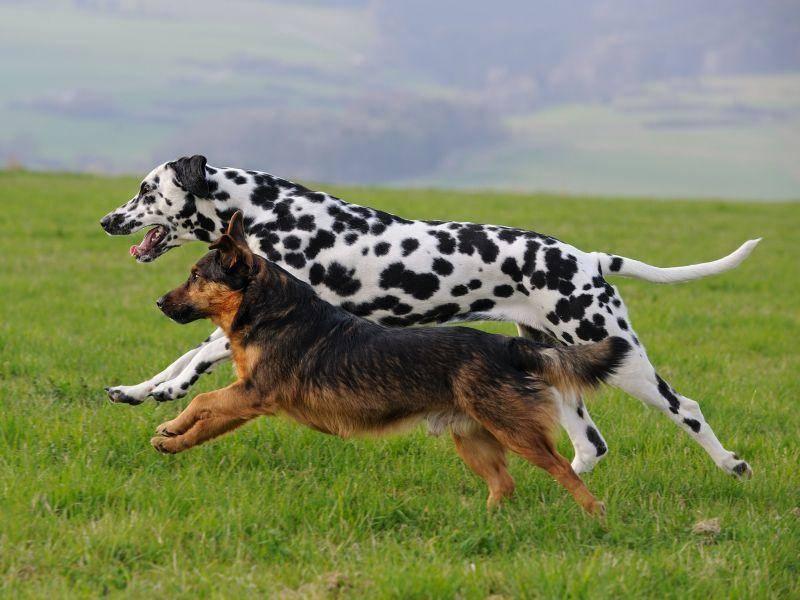 Und zum Schluss noch ein kleines Wettrennen: Welcher Hund ist schneller? — Bild: Shutterstock / AnetaPics