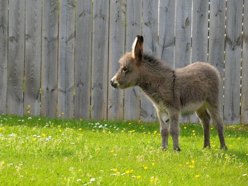 Kleiner Esel: Besonders tapsiger Vertreter unter den Fohlen — Bild: Shutterstock / Pete Gallop