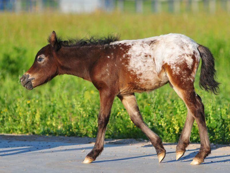 Tolle Farben hat dieses kleine Appaloosa Fohlen — Bild: Shutterstock / Olga_i