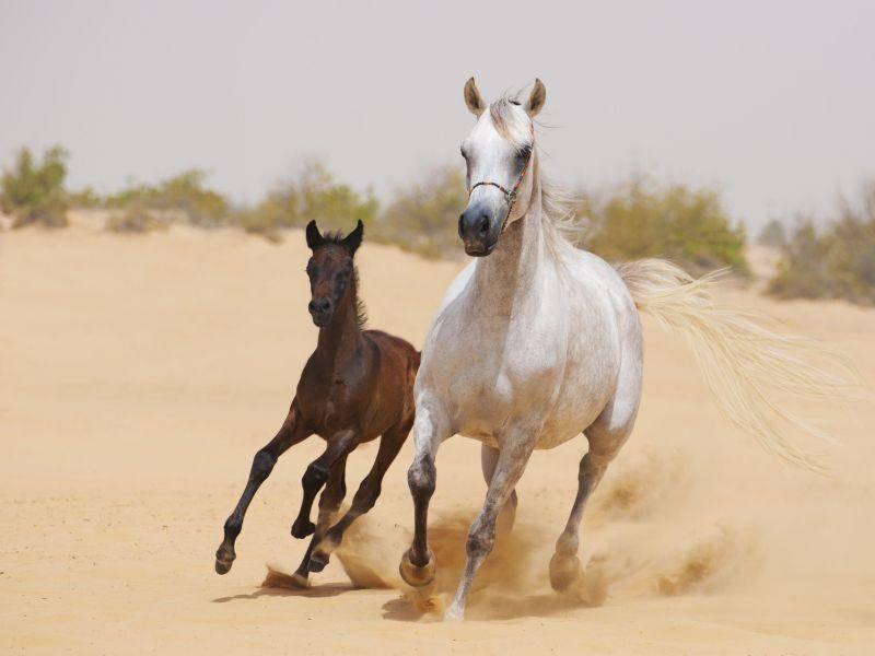 Rennen — das macht Fohlen und Mama Spaß — Bild: Shutterstock / smeola